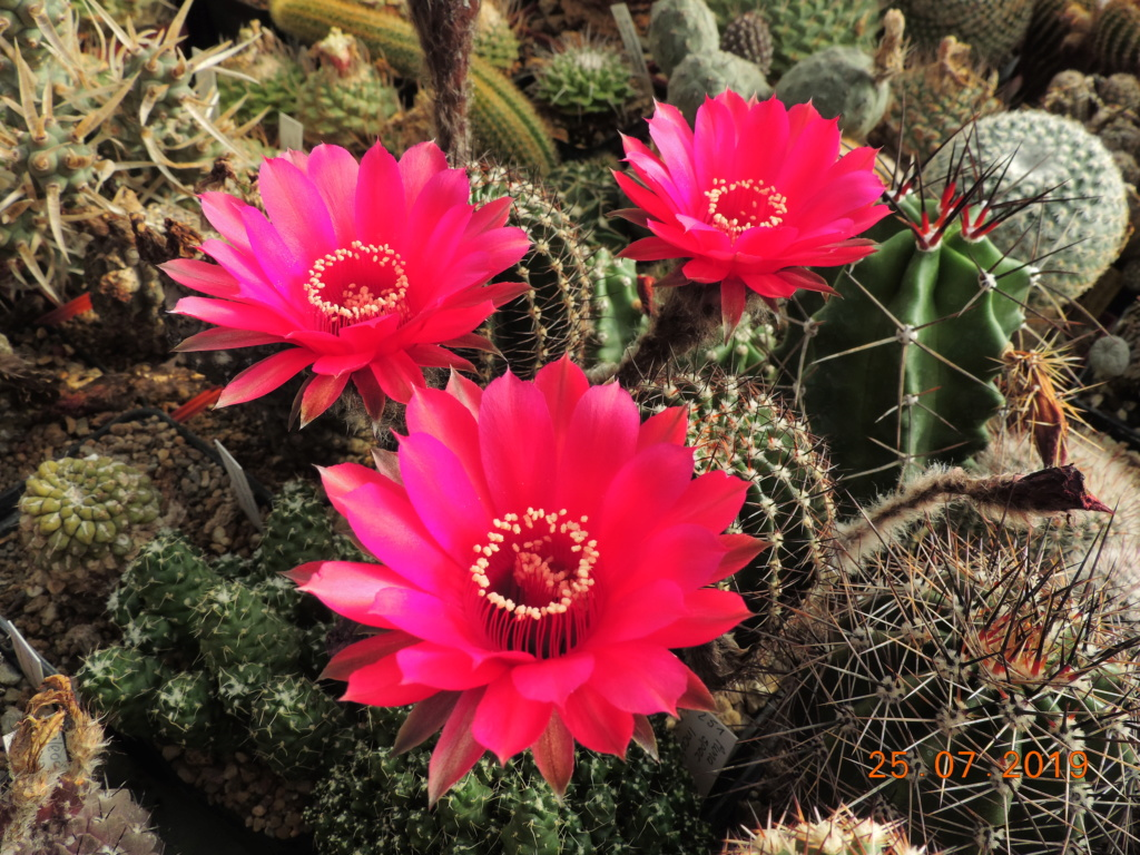 Cacti and Sukkulent in Köln, every day new flowers in the greenhouse Part 220 Bild3859