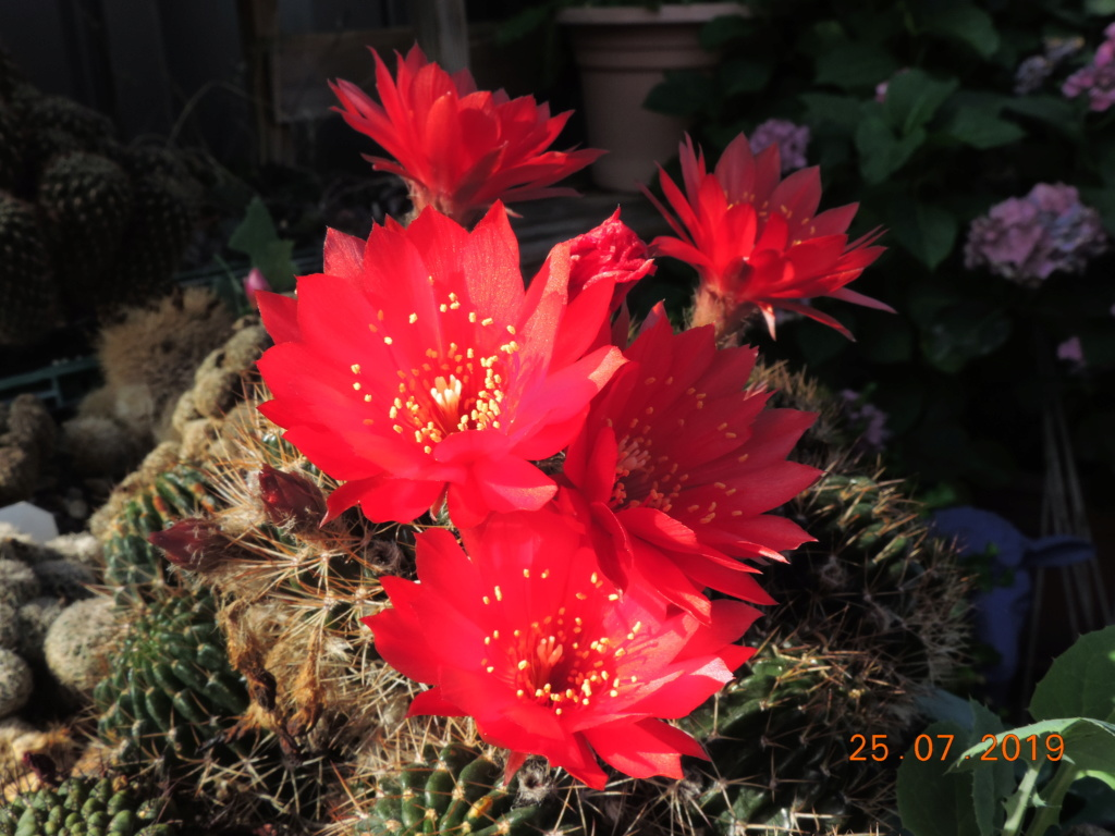 Cacti and Sukkulent in Köln, every day new flowers in the greenhouse Part 220 Bild3885