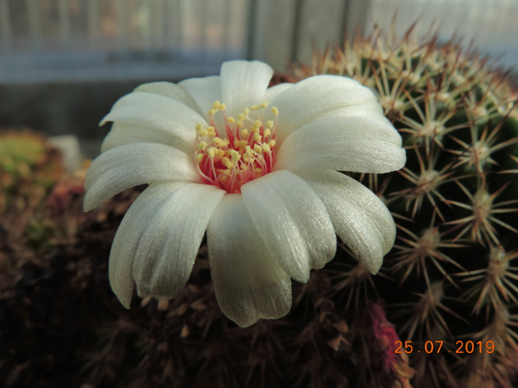 Cacti and Sukkulent in Köln, every day new flowers in the greenhouse Part 220 Bild3900