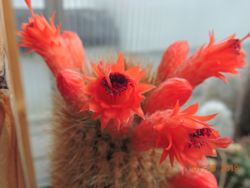Cacti and Sukkulent in Köln, every day new flowers in the greenhouse Part 221 Bild3918