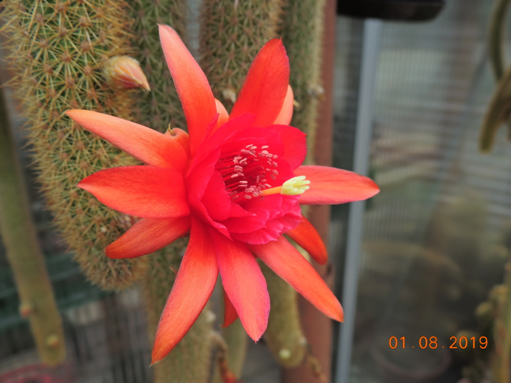 Cacti and Sukkulent in Köln, every day new flowers in the greenhouse Part 221 Bild3931