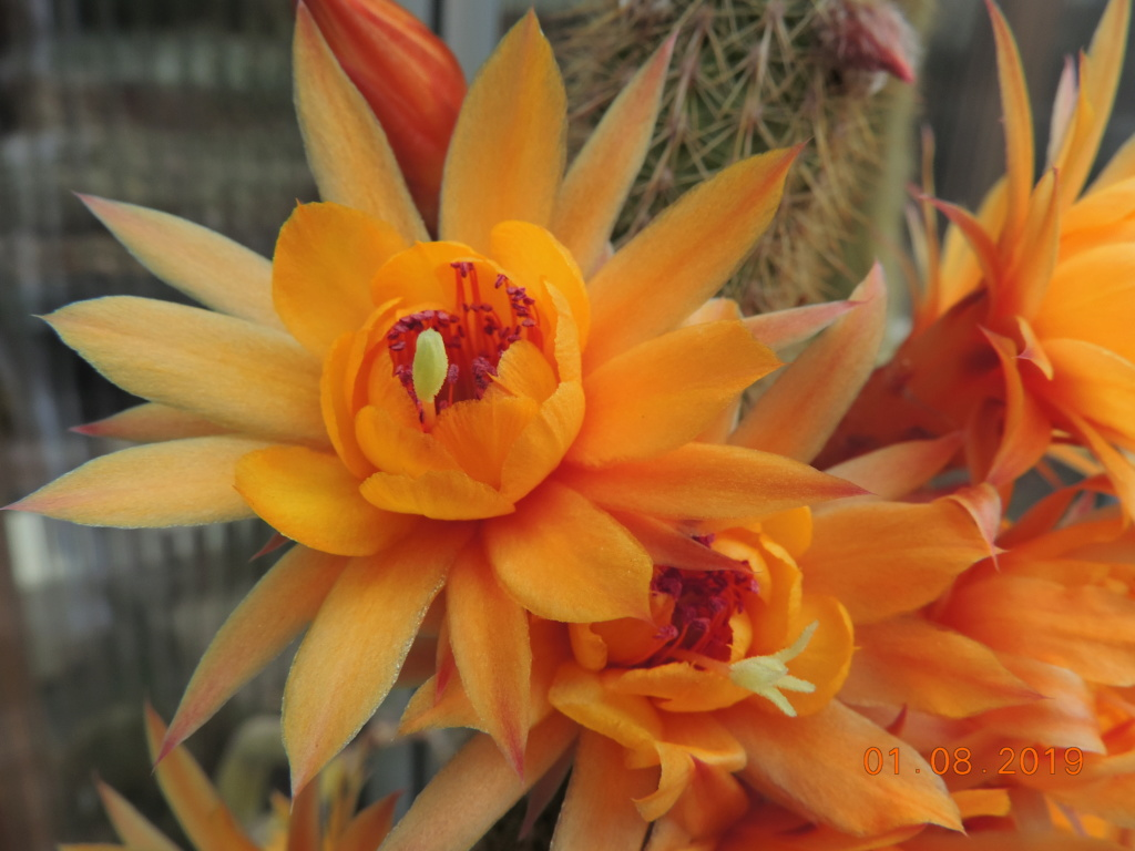 Cacti and Sukkulent in Köln, every day new flowers in the greenhouse Part 221 Bild3934