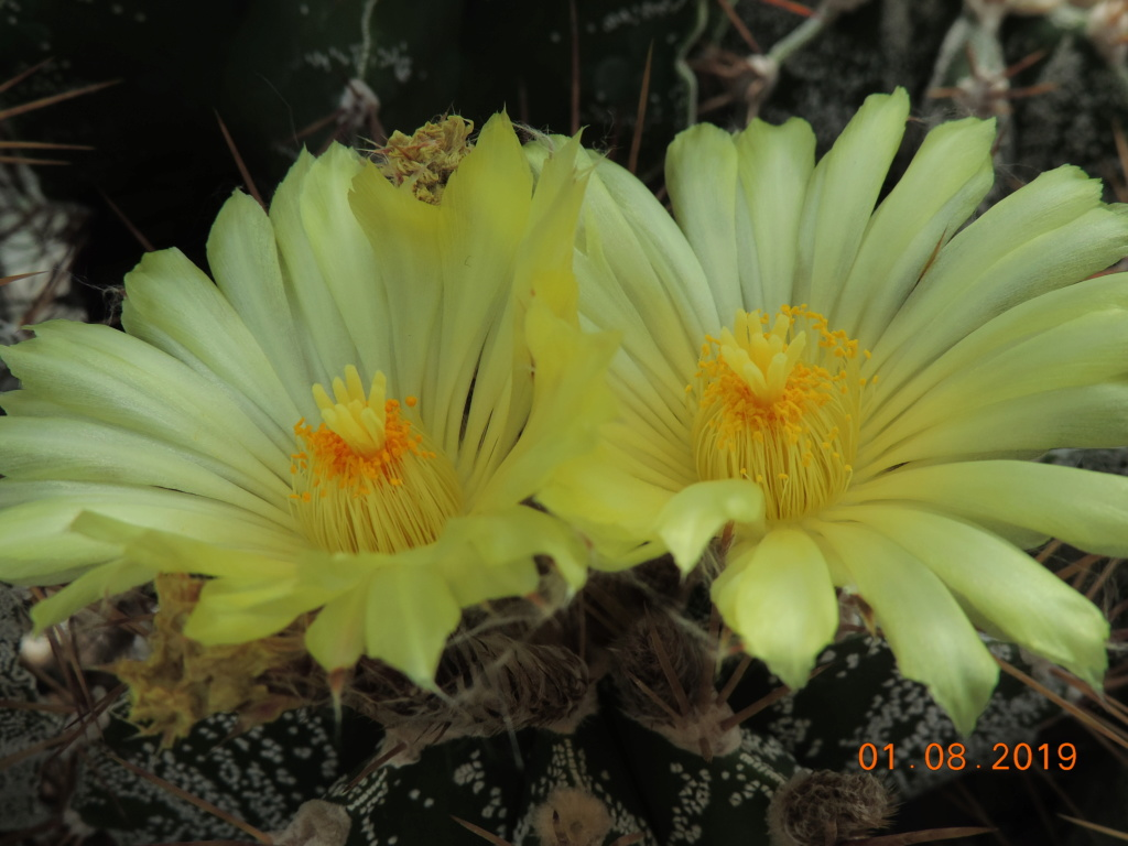 Cacti and Sukkulent in Köln, every day new flowers in the greenhouse Part 221 Bild3941