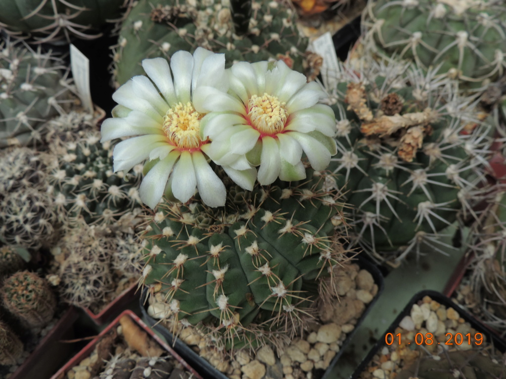 Cacti and Sukkulent in Köln, every day new flowers in the greenhouse Part 221 Bild3944