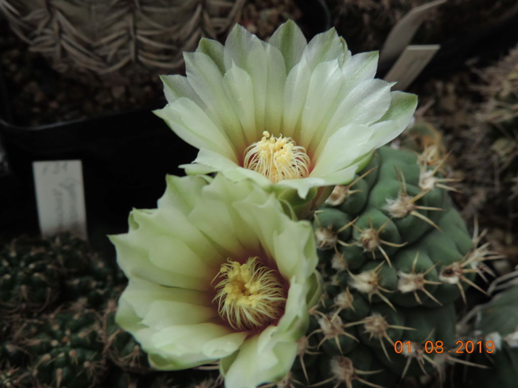 Cacti and Sukkulent in Köln, every day new flowers in the greenhouse Part 221 Bild3951