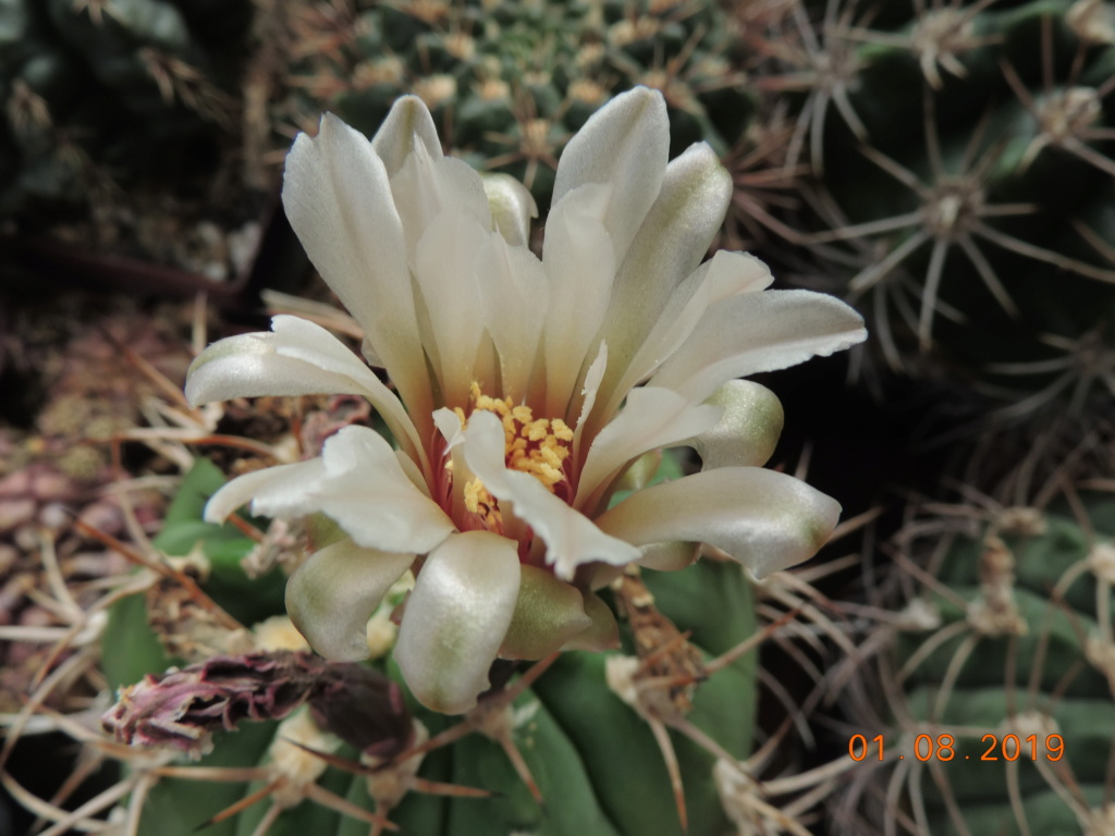 Cacti and Sukkulent in Köln, every day new flowers in the greenhouse Part 221 Bild3953