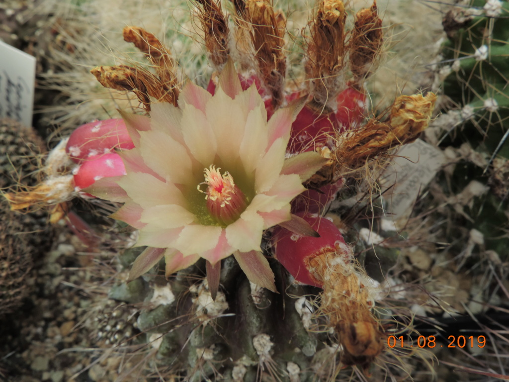 Cacti and Sukkulent in Köln, every day new flowers in the greenhouse Part 221 Bild3959