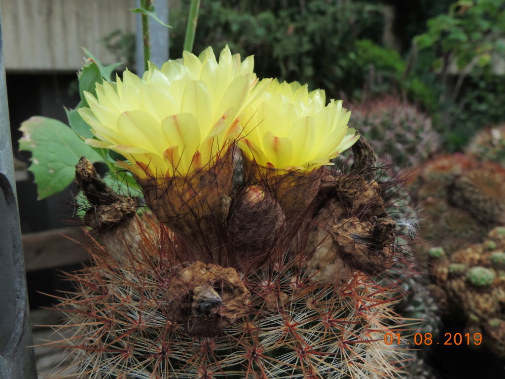 Cacti and Sukkulent in Köln, every day new flowers in the greenhouse Part 221 Bild3960
