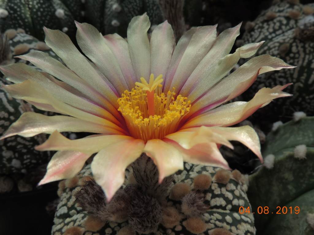 Cacti and Sukkulent in Köln, every day new flowers in the greenhouse Part 221 Bild3990