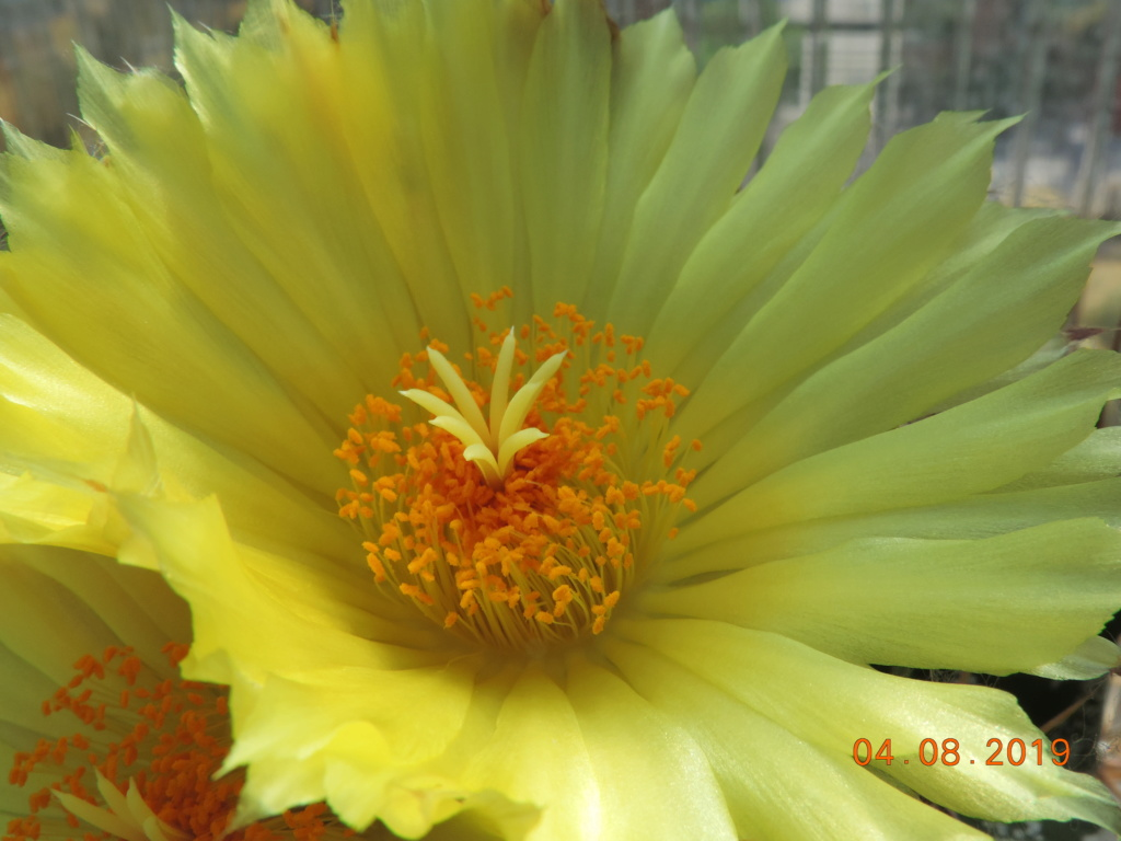 Cacti and Sukkulent in Köln, every day new flowers in the greenhouse Part 221 Bild3991