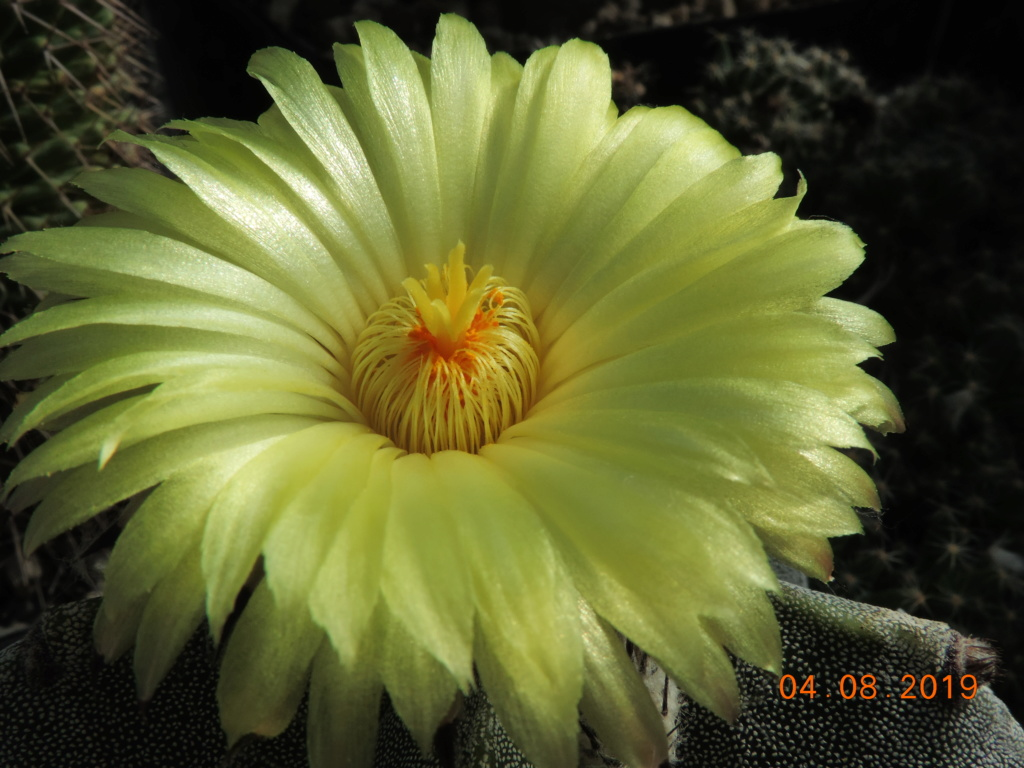 Cacti and Sukkulent in Köln, every day new flowers in the greenhouse Part 221 Bild3994