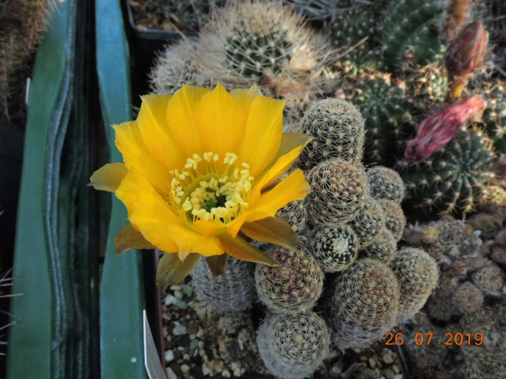 Cacti and Sukkulent in Köln, every day new flowers in the greenhouse Part 221 Bild3996