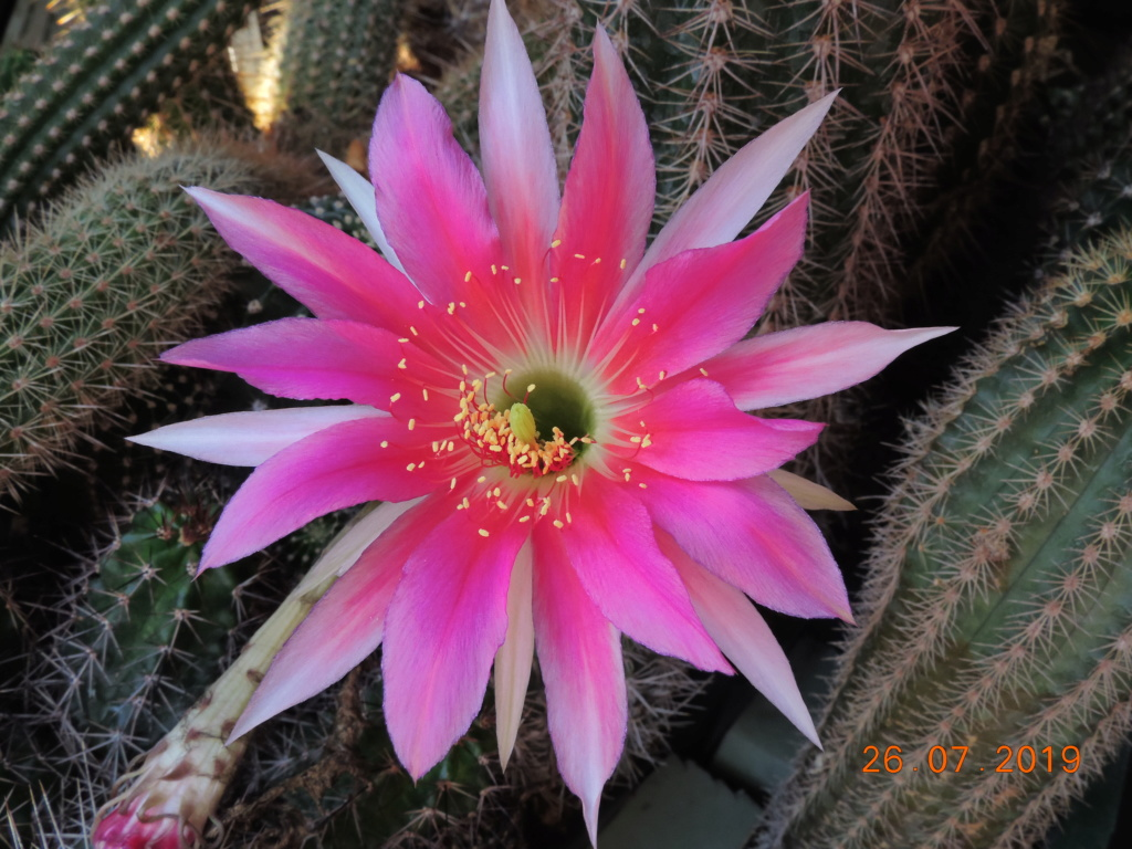 Cacti and Sukkulent in Köln, every day new flowers in the greenhouse Part 221 Bild4006