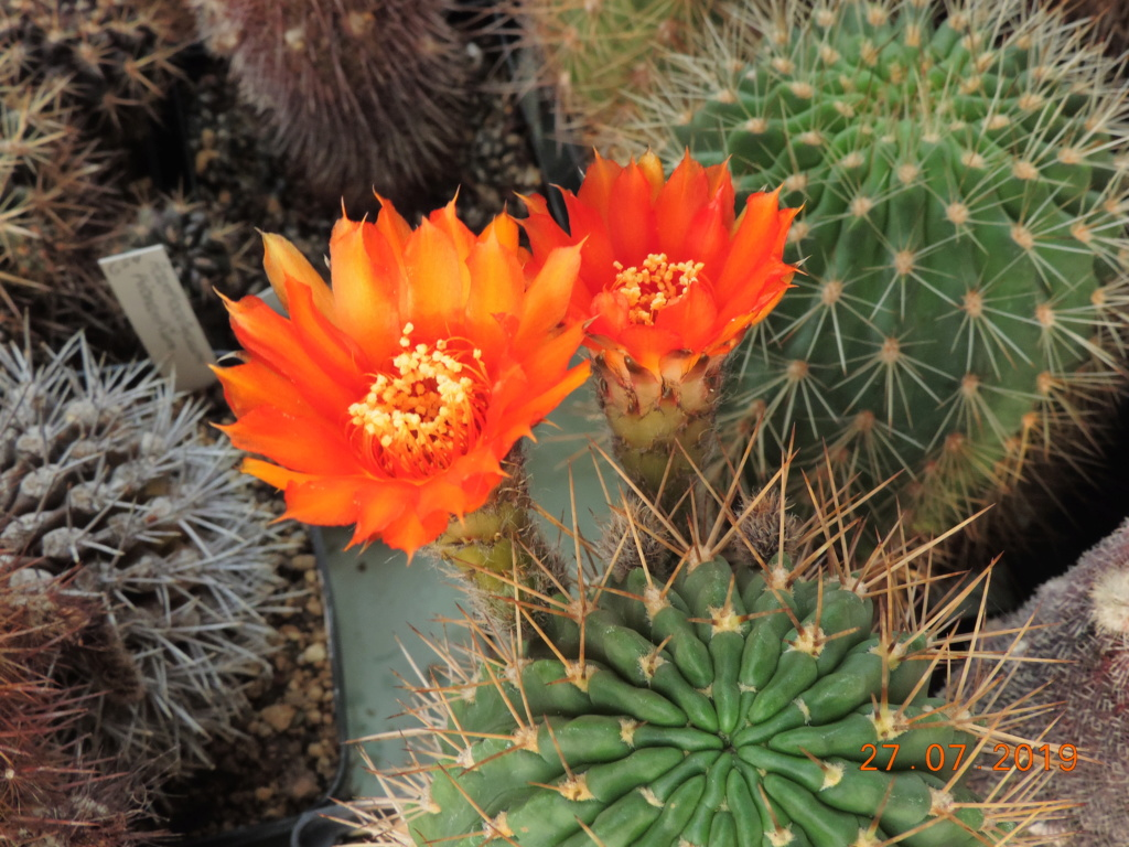 Cacti and Sukkulent in Köln, every day new flowers in the greenhouse Part 221 Bild4013