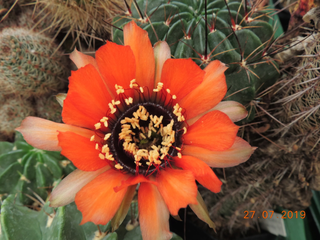 Cacti and Sukkulent in Köln, every day new flowers in the greenhouse Part 221 Bild4015