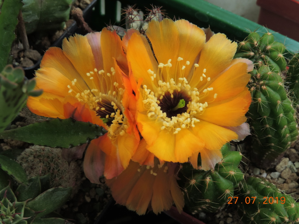 Cacti and Sukkulent in Köln, every day new flowers in the greenhouse Part 221 Bild4017