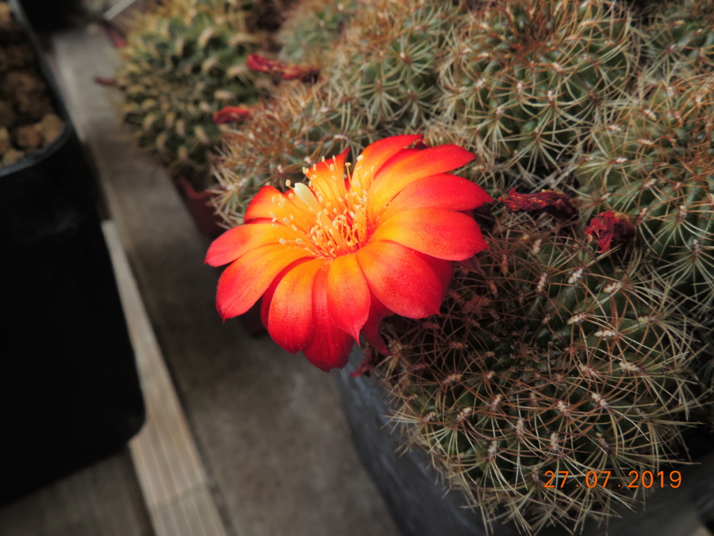 Cacti and Sukkulent in Köln, every day new flowers in the greenhouse Part 221 Bild4020