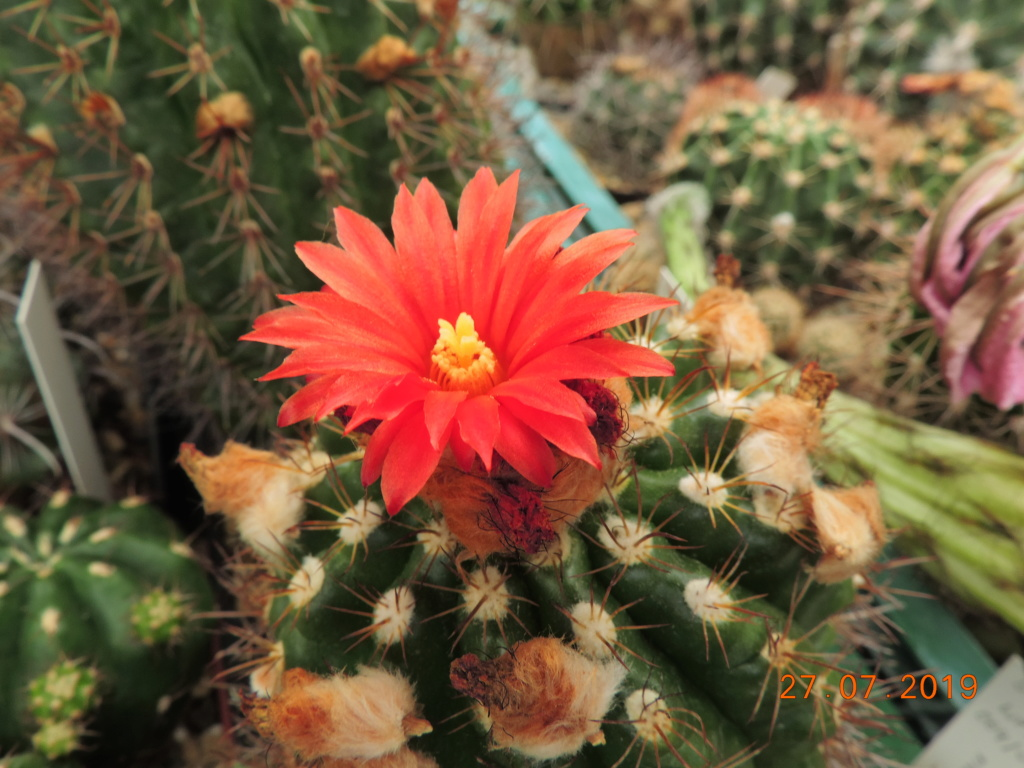 Cacti and Sukkulent in Köln, every day new flowers in the greenhouse Part 221 Bild4024
