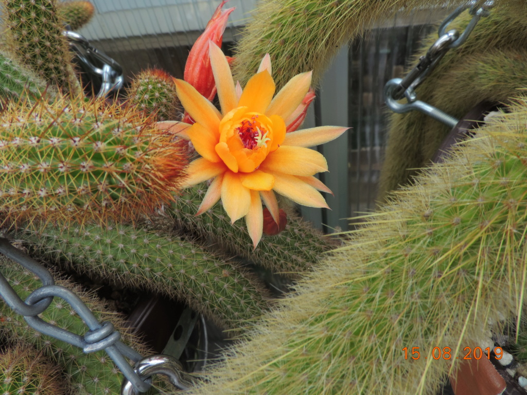 Cacti and Sukkulent in Köln, every day new flowers in the greenhouse Part 221 Bild4044