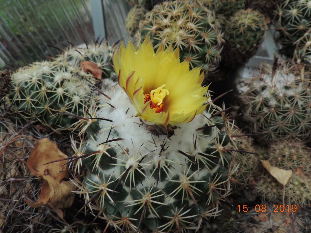 Cacti and Sukkulent in Köln, every day new flowers in the greenhouse Part 221 Bild4047