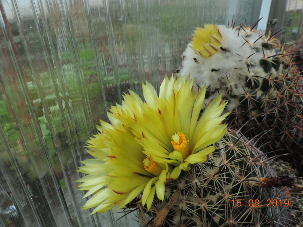 Cacti and Sukkulent in Köln, every day new flowers in the greenhouse Part 221 Bild4049