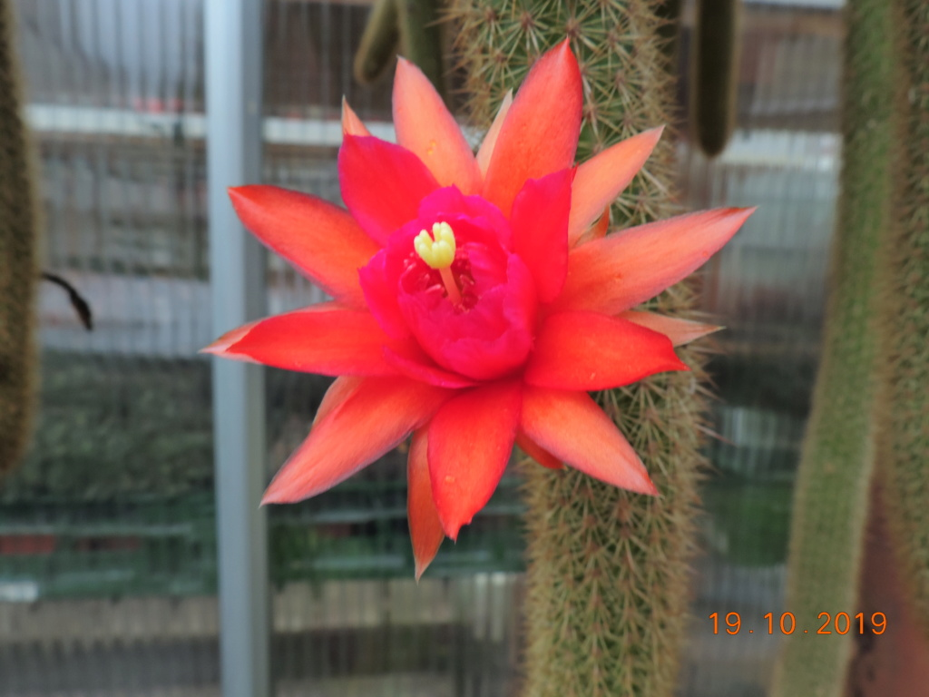 Cacti and Sukkulent in Köln, every day new flowers in the greenhouse Part 225 Bild4441