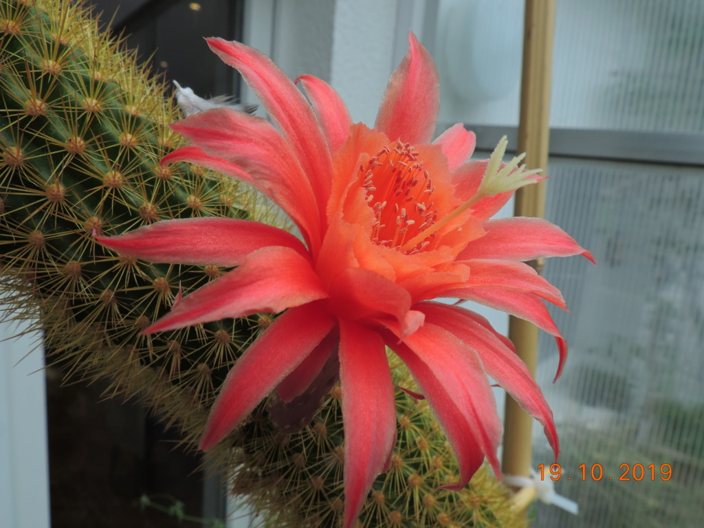 Cacti and Sukkulent in Köln, every day new flowers in the greenhouse Part 225 Bild4443