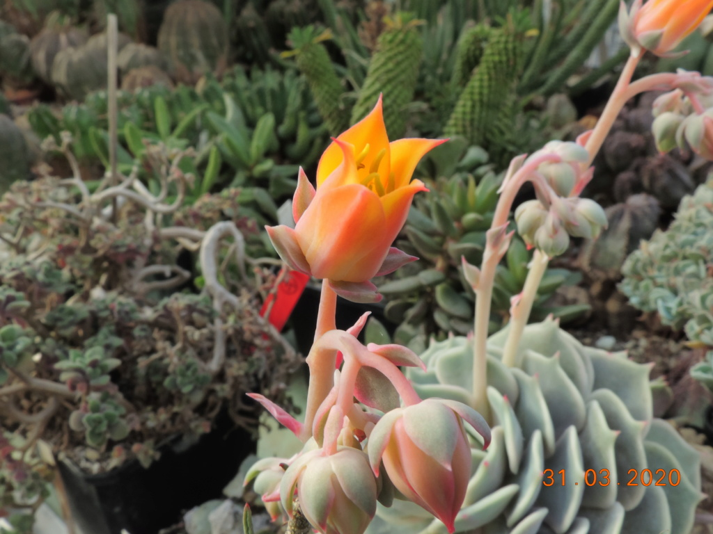 Cacti and Sukkulent in Köln, every day new flowers in the greenhouse Part 231 Bild5016