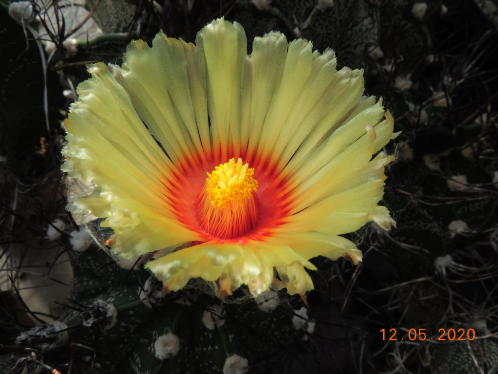 Cacti and Sukkulent in Köln, every day new flowers in the greenhouse Part 234 Bild5234