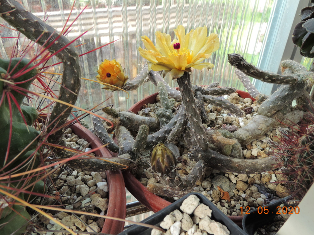 Cacti and Sukkulent in Köln, every day new flowers in the greenhouse Part 234 Bild5235