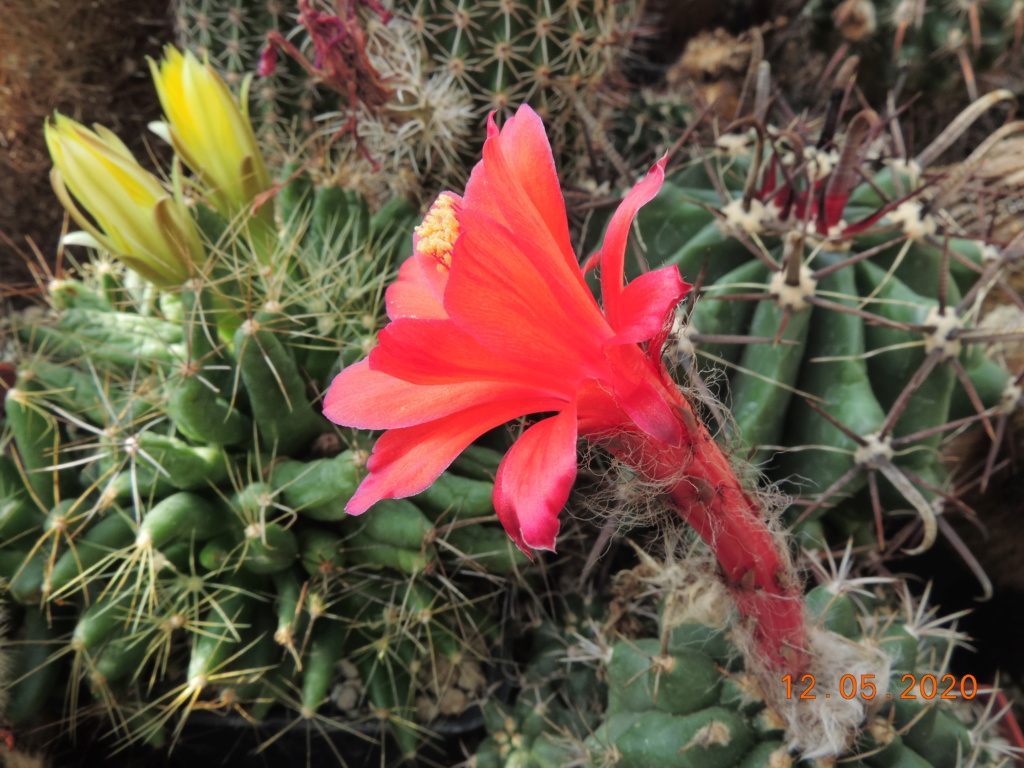 Cacti and Sukkulent in Köln, every day new flowers in the greenhouse Part 234 Bild5240