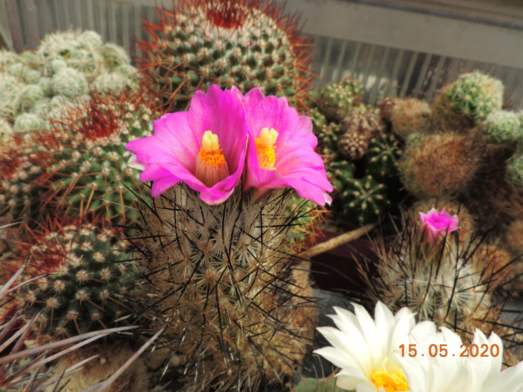 Cacti and Sukkulent in Köln, every day new flowers in the greenhouse Part 234 Bild5260