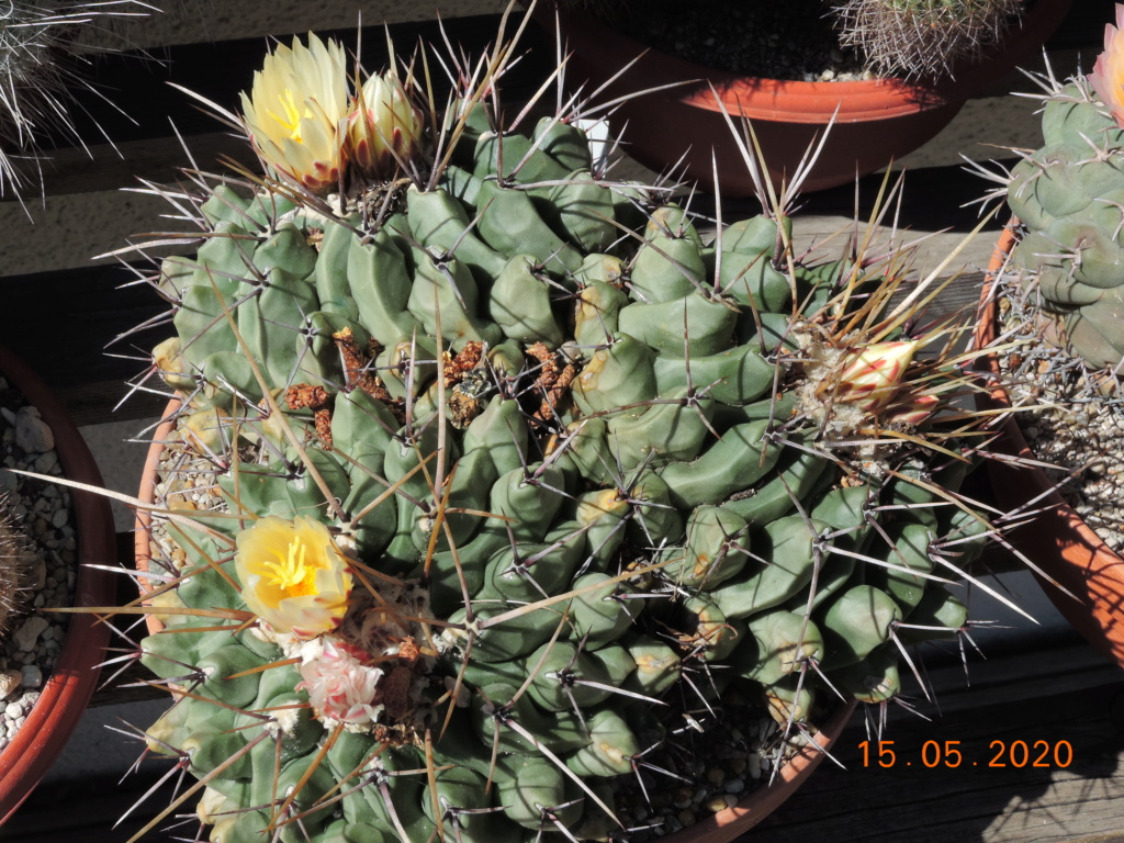 Cacti and Sukkulent in Köln, every day new flowers in the greenhouse Part 234 Bild5264