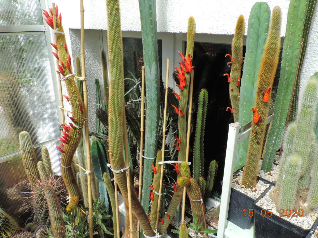 Cacti and Sukkulent in Köln, every day new flowers in the greenhouse Part 234 Bild5265