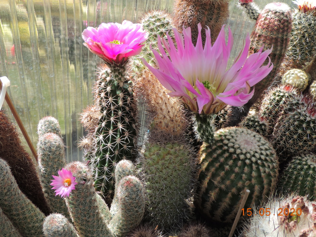 Cacti and Sukkulent in Köln, every day new flowers in the greenhouse Part 234 Bild5269