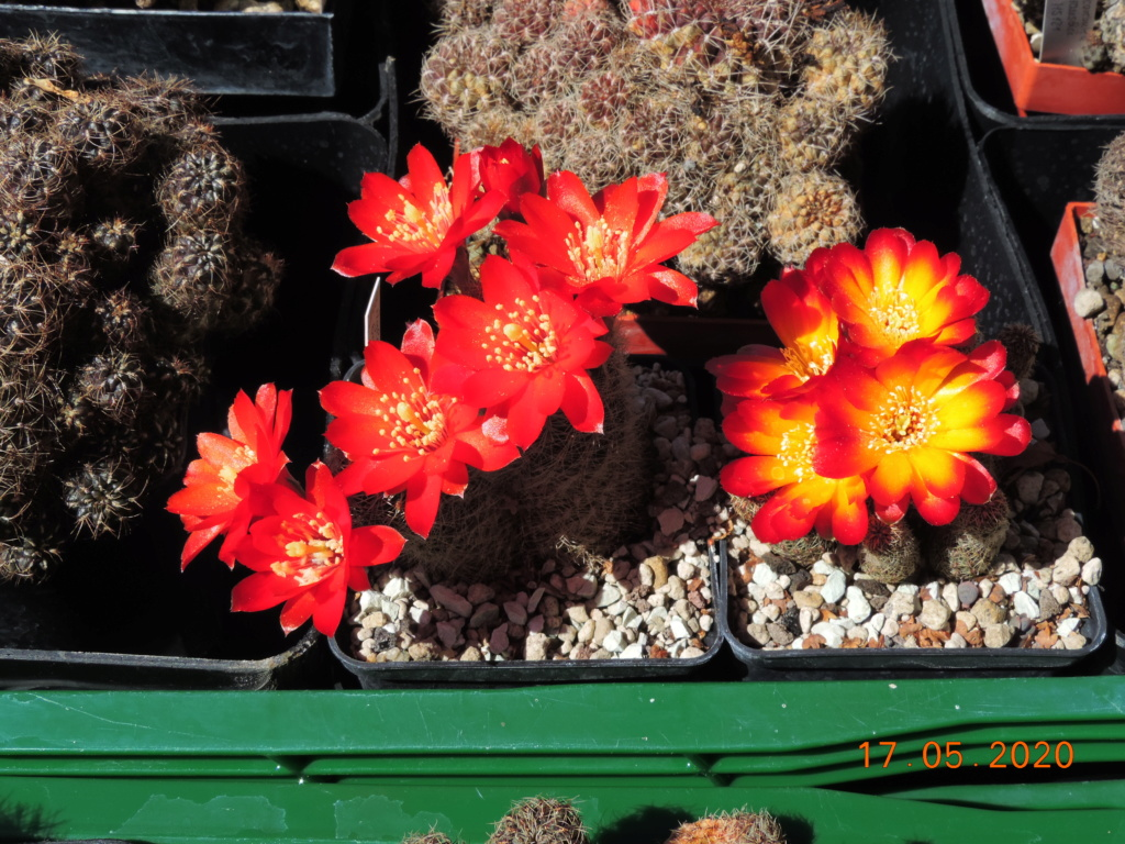 Cacti and Sukkulent in Köln, every day new flowers in the greenhouse Part 234 Bild5279