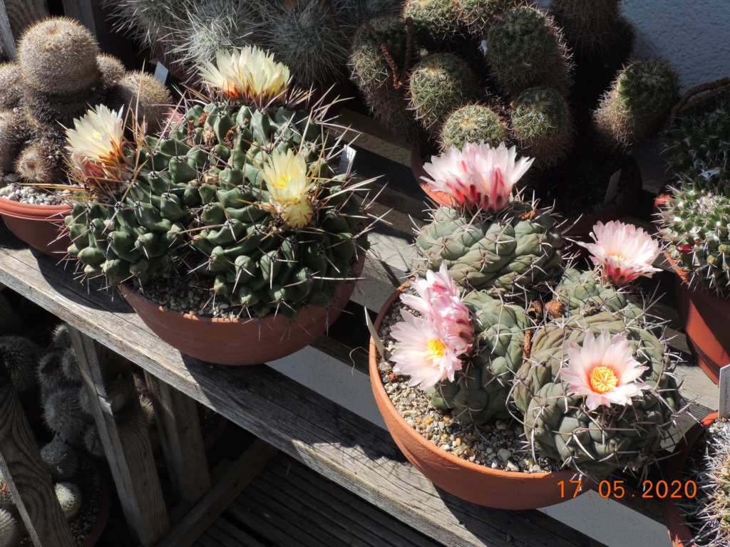 Cacti and Sukkulent in Köln, every day new flowers in the greenhouse Part 234 Bild5282