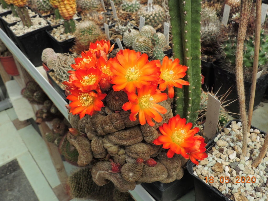Cacti and Sukkulent in Köln, every day new flowers in the greenhouse Part 234 Bild5283