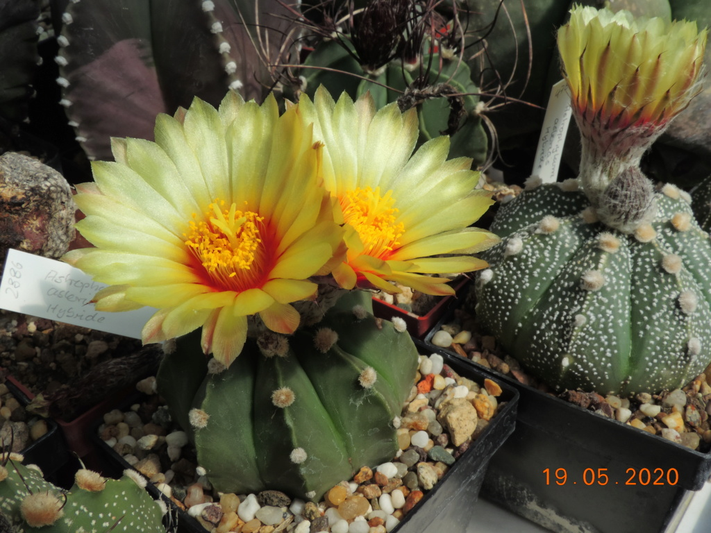 Cacti and Sukkulent in Köln, every day new flowers in the greenhouse Part 234 Bild5299