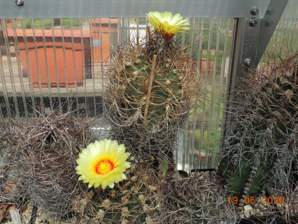 Cacti and Sukkulent in Köln, every day new flowers in the greenhouse Part 234 Bild5305