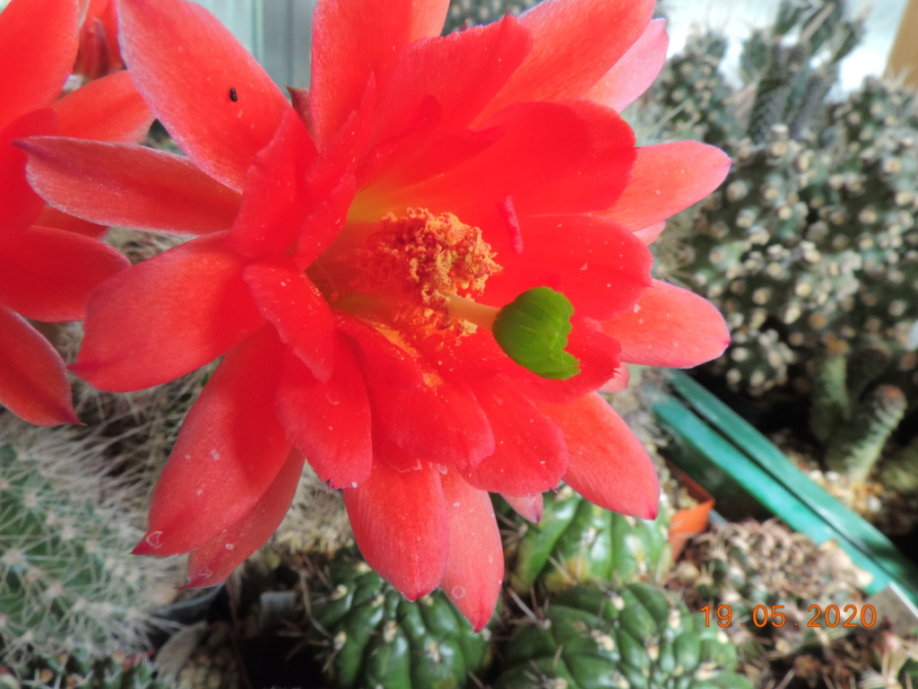 Cacti and Sukkulent in Köln, every day new flowers in the greenhouse Part 234 Bild5322