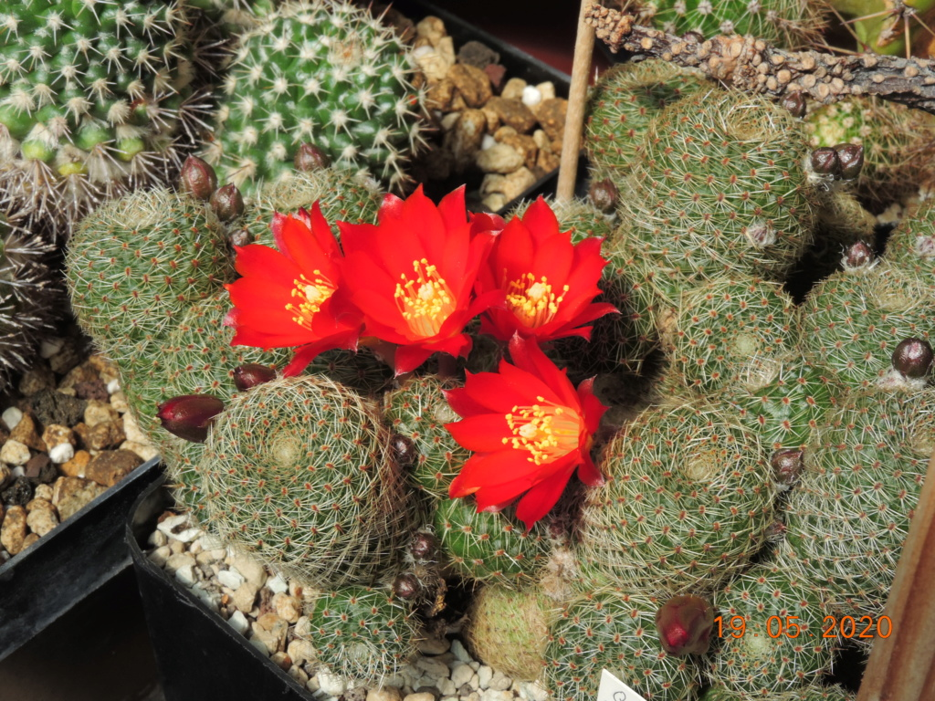 Cacti and Sukkulent in Köln, every day new flowers in the greenhouse Part 234 Bild5323