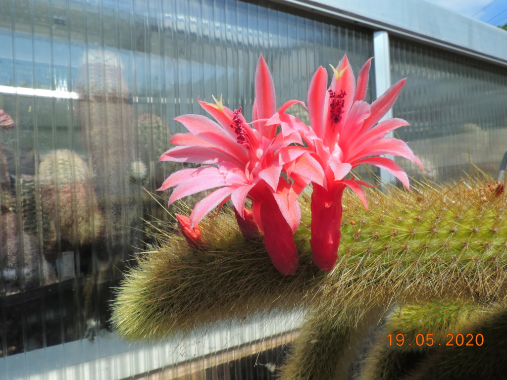 Cacti and Sukkulent in Köln, every day new flowers in the greenhouse Part 234 Bild5325