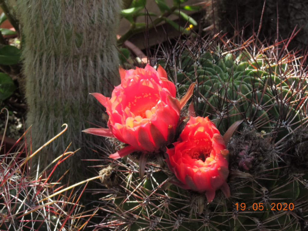 Cacti and Sukkulent in Köln, every day new flowers in the greenhouse Part 234 Bild5327