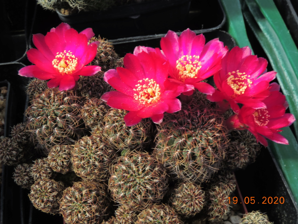 Cacti and Sukkulent in Köln, every day new flowers in the greenhouse Part 234 Bild5328