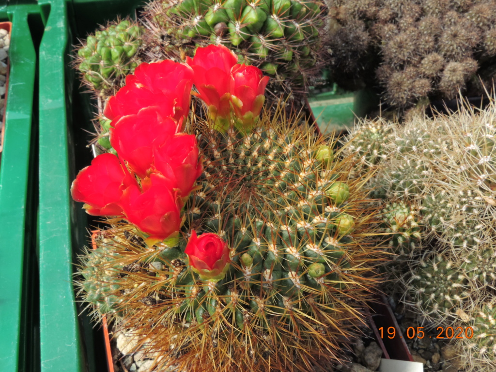 Cacti and Sukkulent in Köln, every day new flowers in the greenhouse Part 234 Bild5329