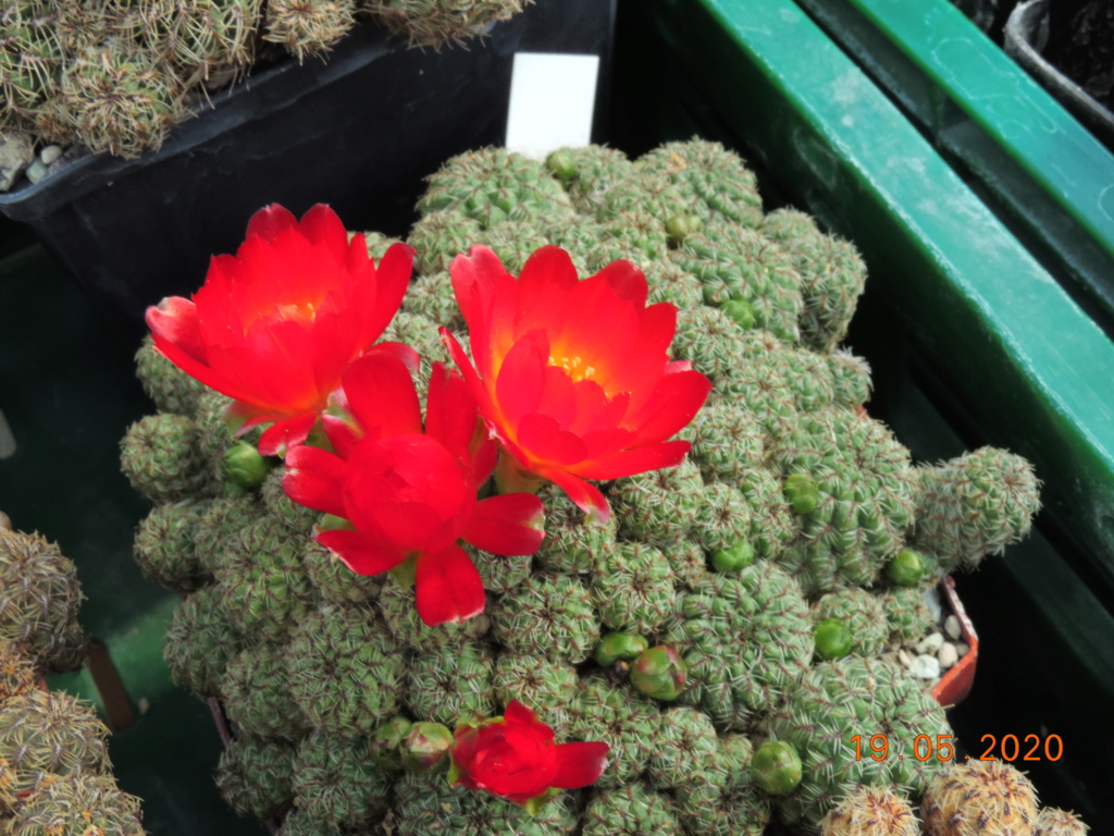 Cacti and Sukkulent in Köln, every day new flowers in the greenhouse Part 234 Bild5331