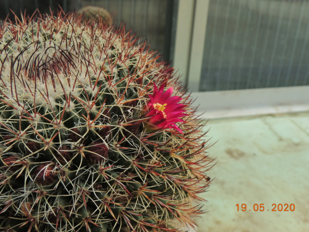 Cacti and Sukkulent in Köln, every day new flowers in the greenhouse Part 234 Bild5332