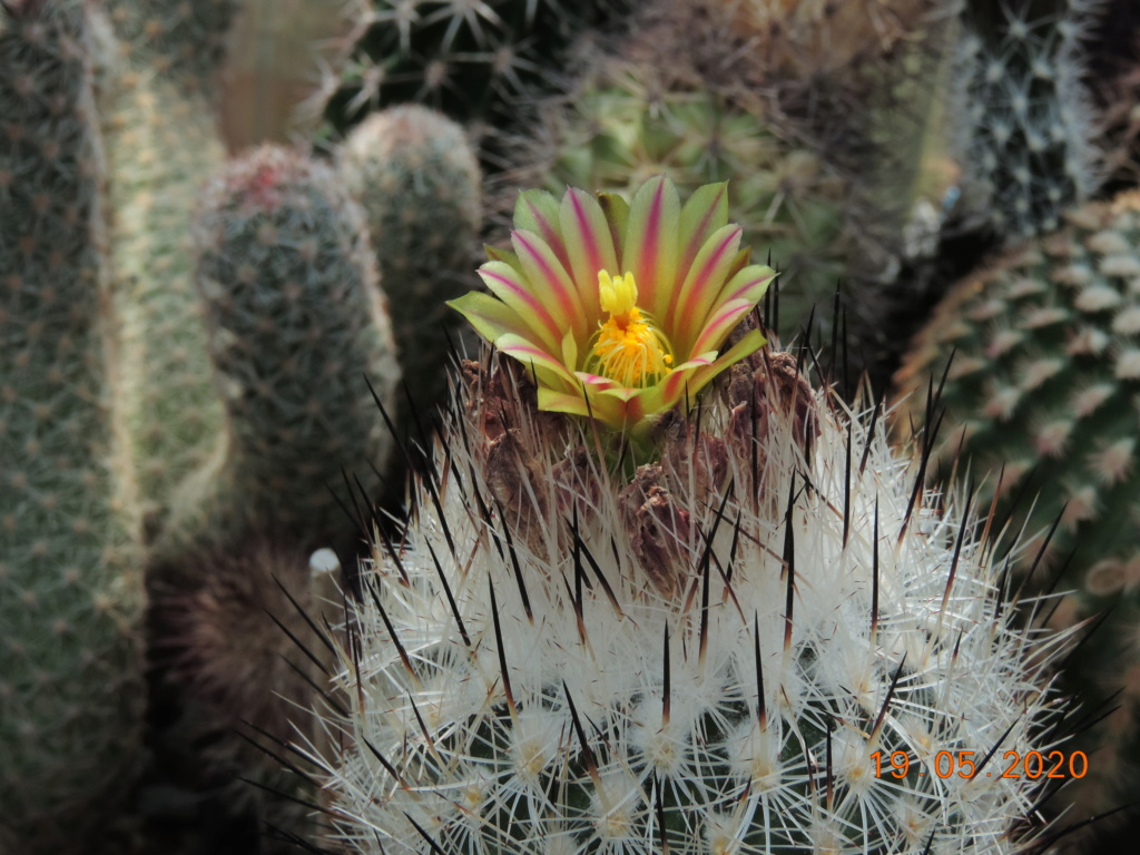 Cacti and Sukkulent in Köln, every day new flowers in the greenhouse Part 234 Bild5333