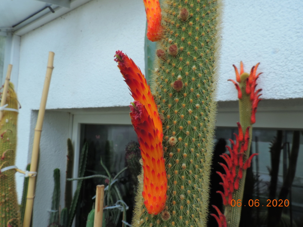 Cacti and Sukkulent in Köln, every day new flowers in the greenhouse Part 237 Bild5507